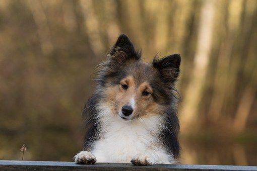 A Solid Training Routine All Dogs Will Benefit From Dog Quotes Dogs Sheltie Dogs