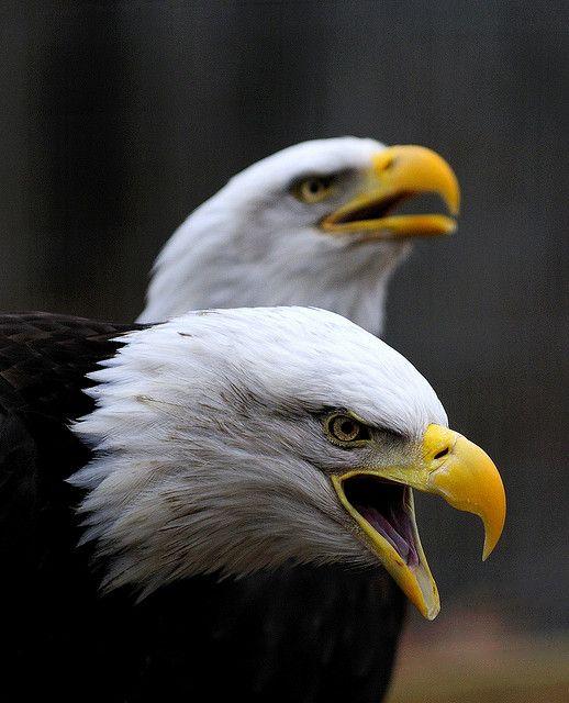 Double Eagle Ii Bald Eagle Birds Of Prey Pet Birds