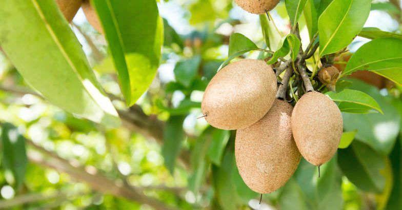 10 Fruit Bearing Trees For Your Home Garden Fruit Bearing Trees