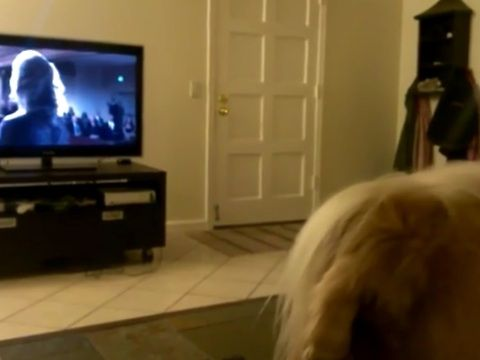 CLICK TO WATCH VIDEO!Bowie, an Afghan Cocker Spaniel mix, sings, or rather, howls at during an opera segment from the show 'House of Cards'. Sounds like he's singing right in key!