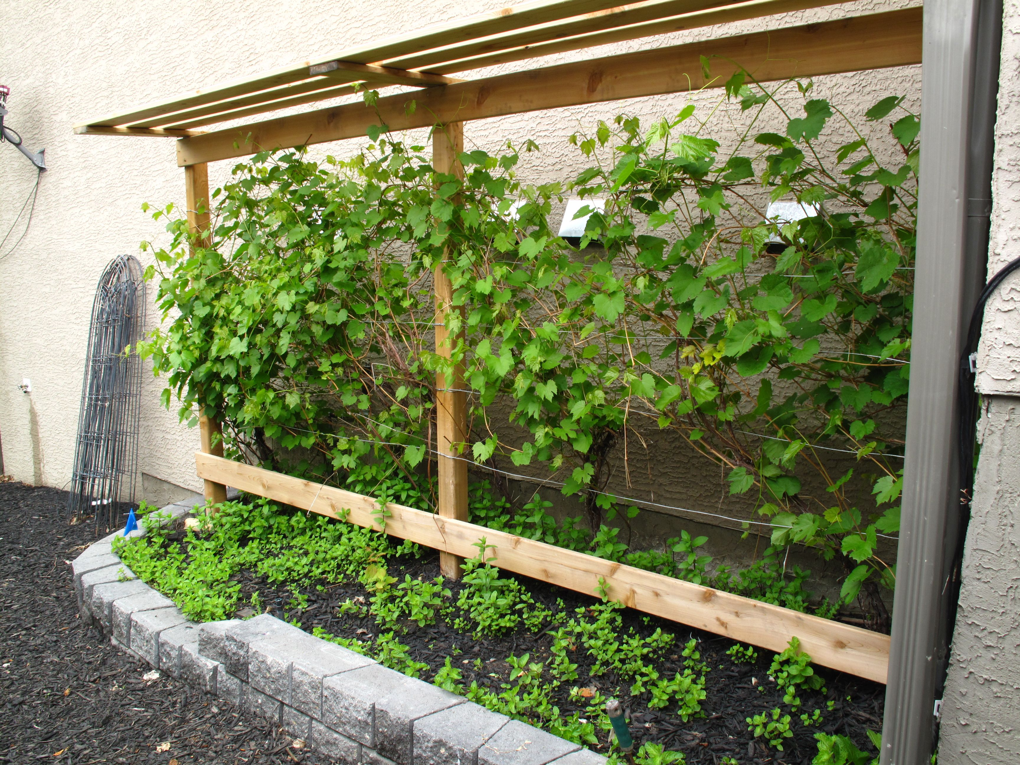 Grow Your Own Grapes In Alberta With A Grape Vine Trellis 'beta' And