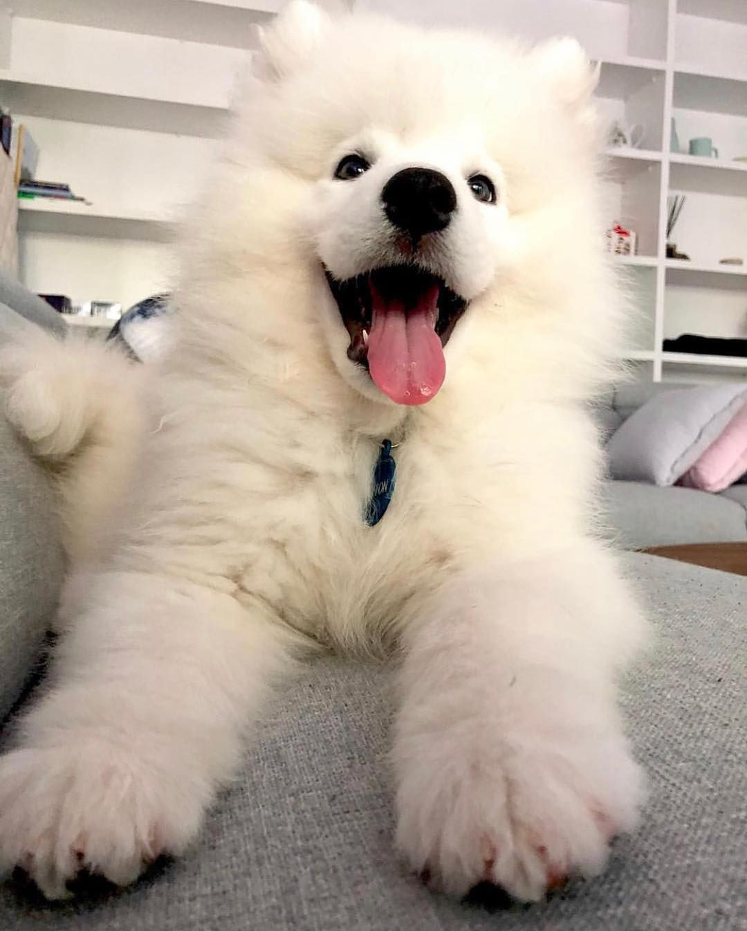 Everything You Want To Know About Samoyed Including Grooming Training Health Problems History Adoption Findi Puggle Dogs Cute Baby Puppies Big Fluffy Dogs