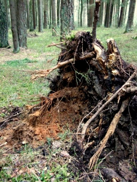 #Stump Remnants - The effects of decomposition have started to set in for this #tree_stump, which will break down and eventually aid in the growth of healthy new foliage in the area.