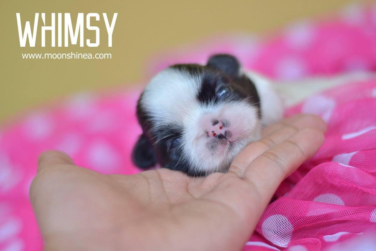 Adorable Shih Tzu 2 Weeks Shih Tzu Shih Tzu Puppy Puppies