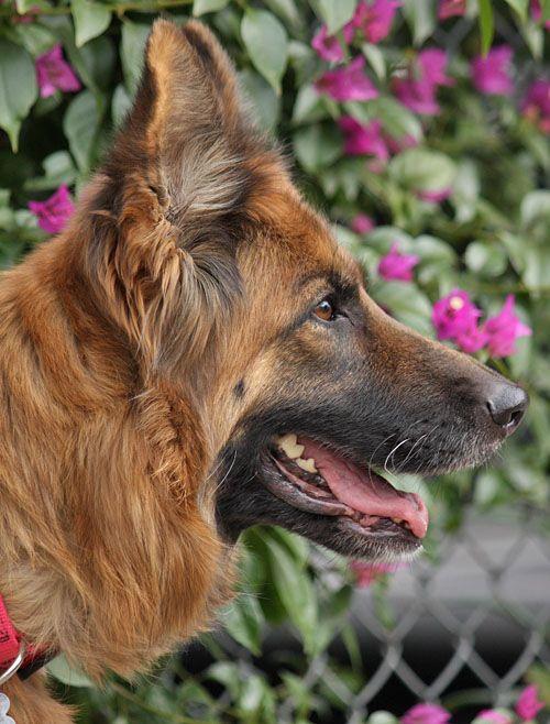 Westside German Shepherd Rescue Of Los Angeles German Shepherd German Shepherd Rescue Long Haired German Shepherd
