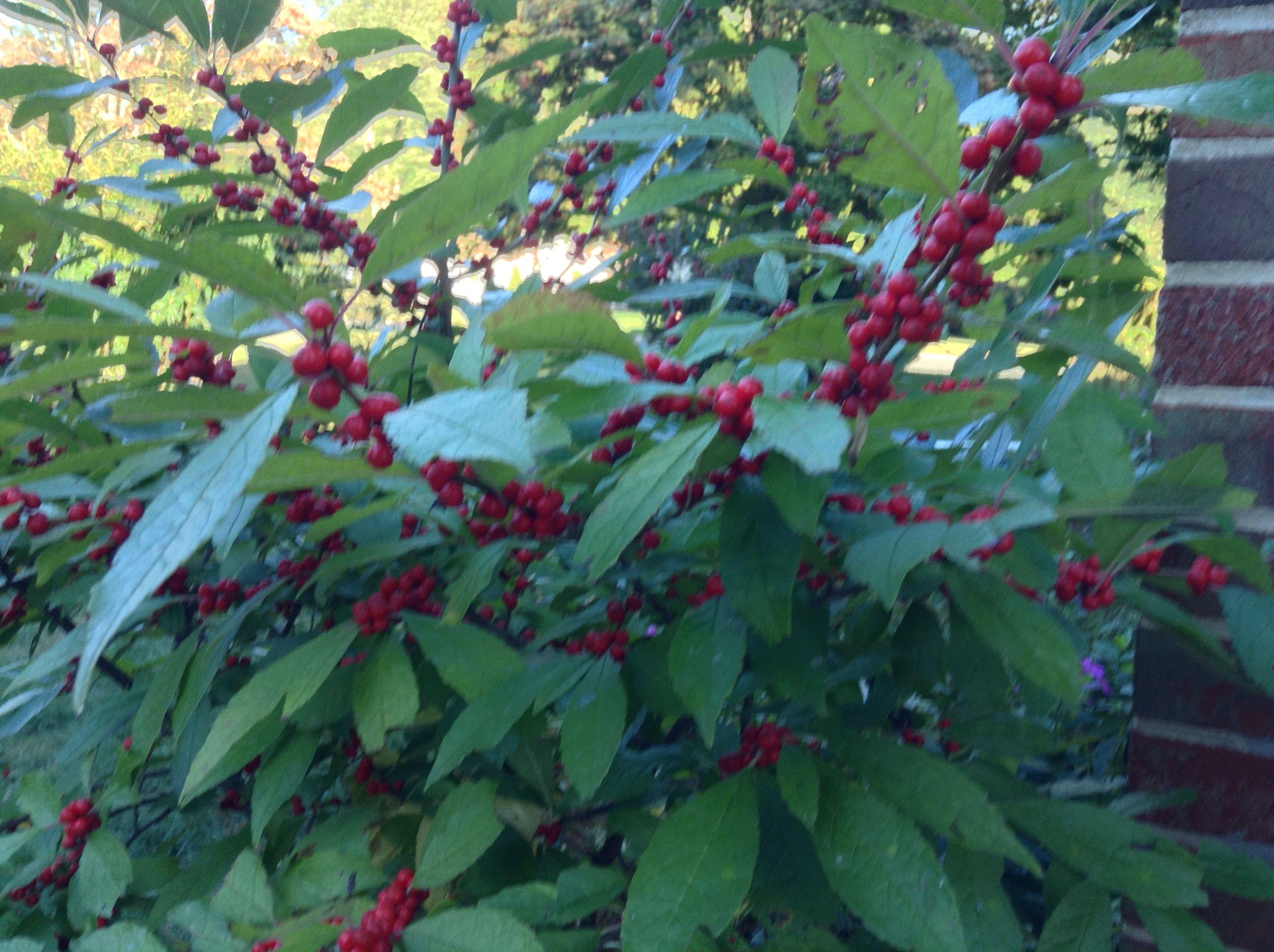 My Winterberry bush 2013