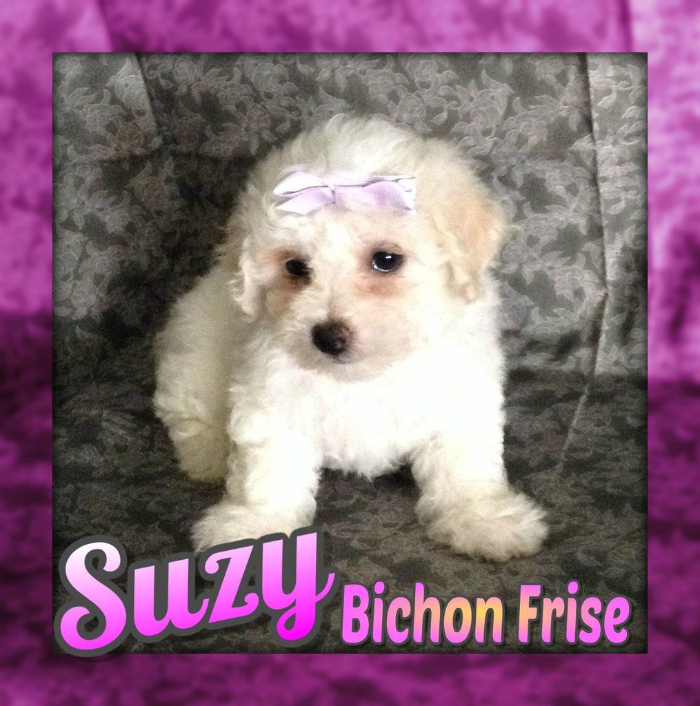 Suzy Akc Bichon Frise Full Price 950 00 Deposit Bichon Frise Puppies Puppies For Sale