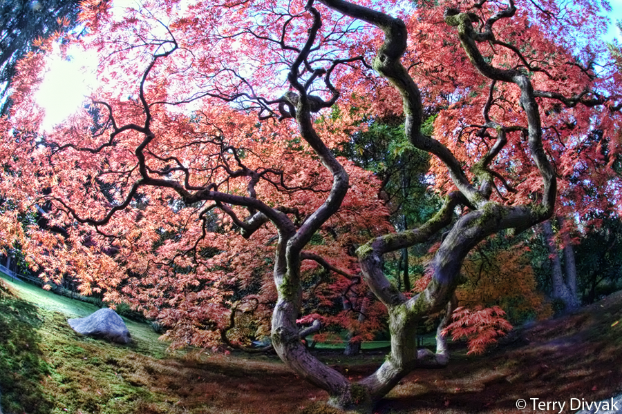 100 Year old Japanese Maple in Seattle's Japanese Garden