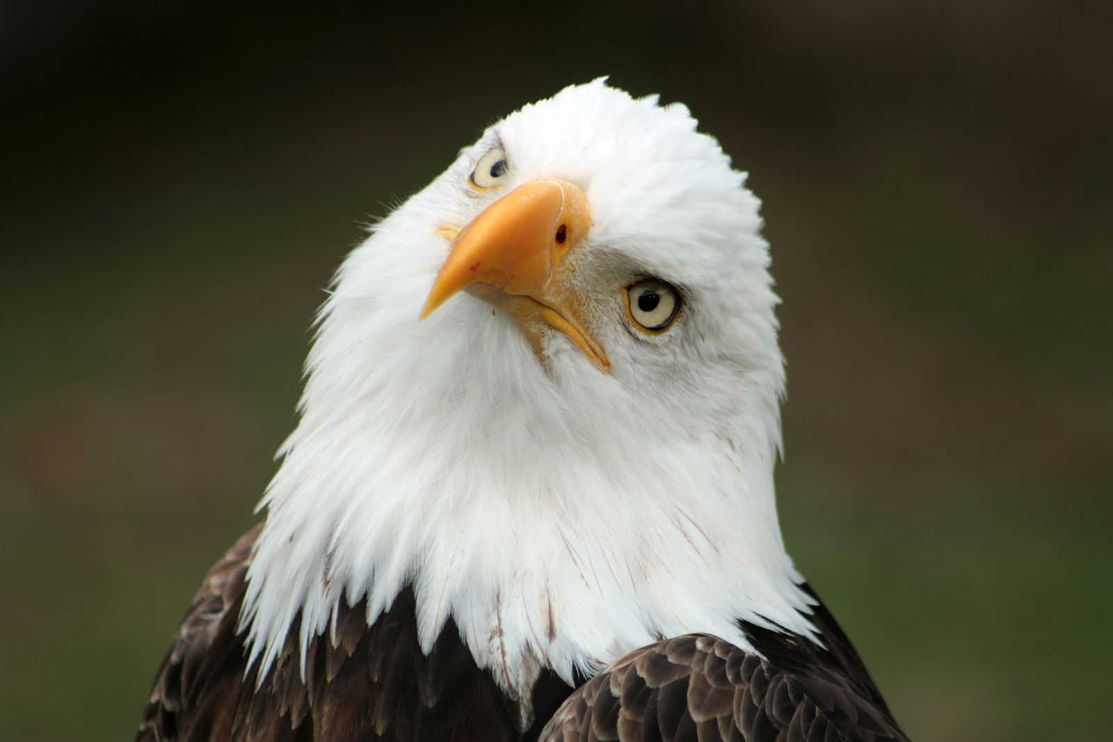 20 Different Types Of Eagles With Pictures