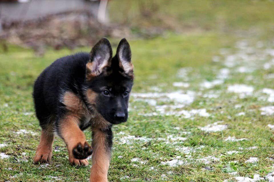 Beliebte Hunderassen In Malaysia Puppy Training Guide German