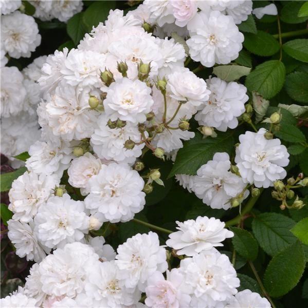 """Résultat de recherche d'images pour """"rosier buisson blanc ..."""