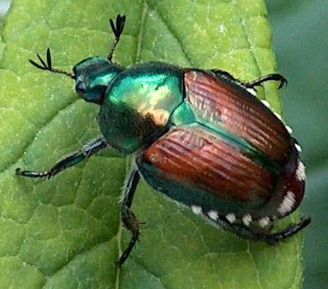 How To Get Rid Of Japanese Beetles On Basil Plants