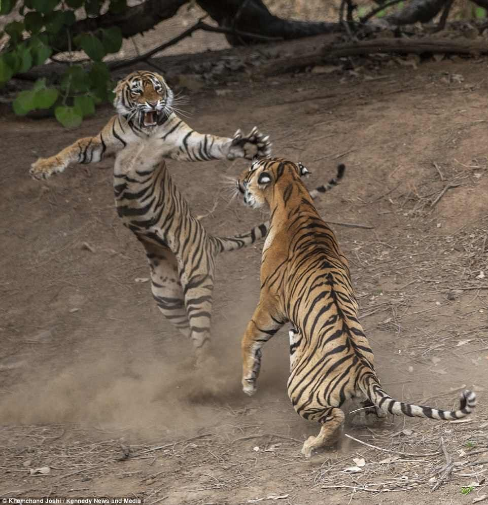 Tigress strikes incredible dancing pose as she fights off