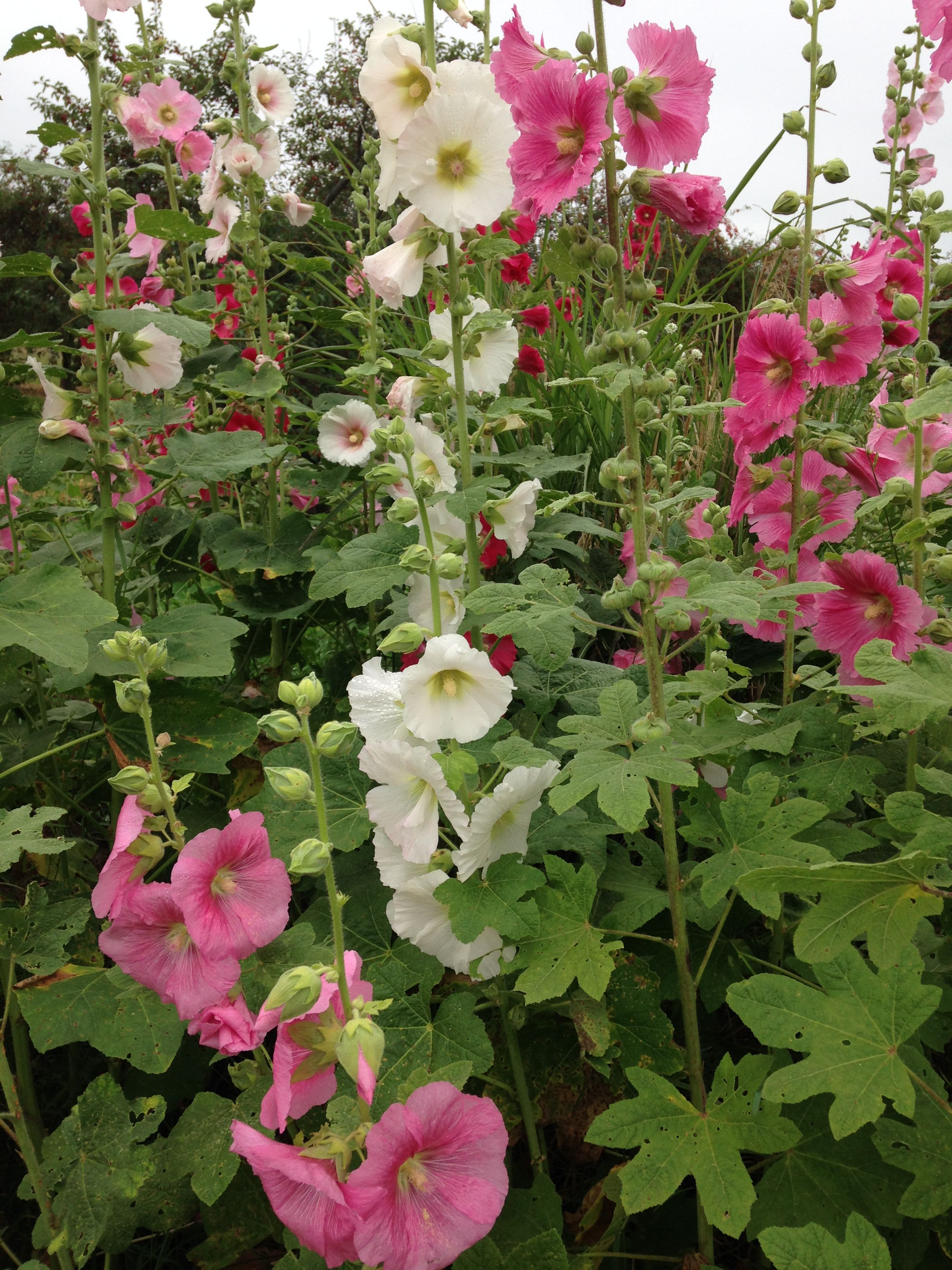 Pin by Robbin Bustance on Hollyhocks Hollyhock, Plants