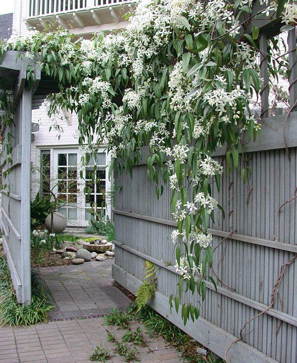 Evergreen Clematis Clematis Armandii Usdahardiness Zones 7 9 Evergreen Clematis Evergreen Plants Clematis Armandii