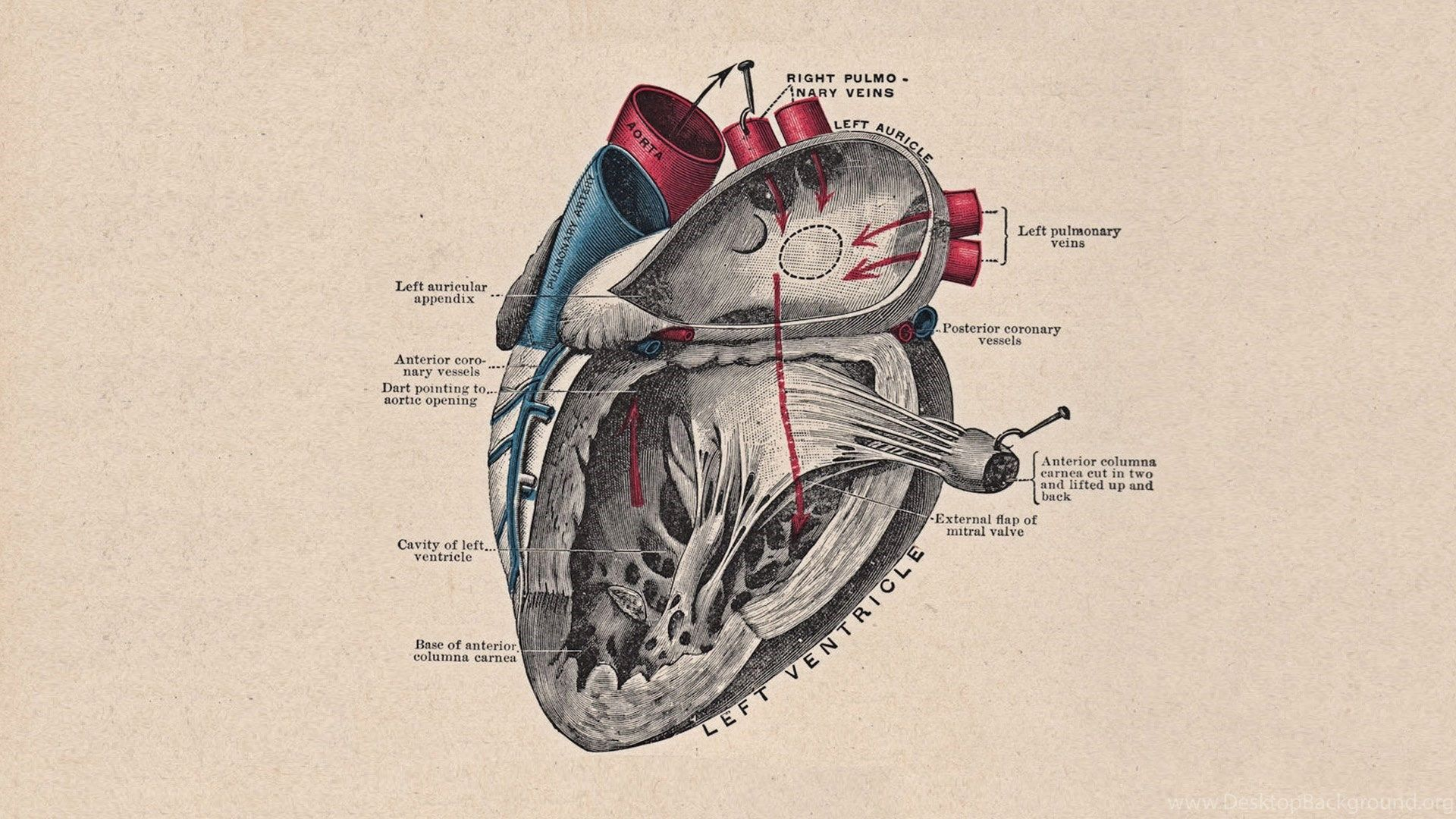 Human Anatomy Wallpapers For Android | Heart anatomy ...