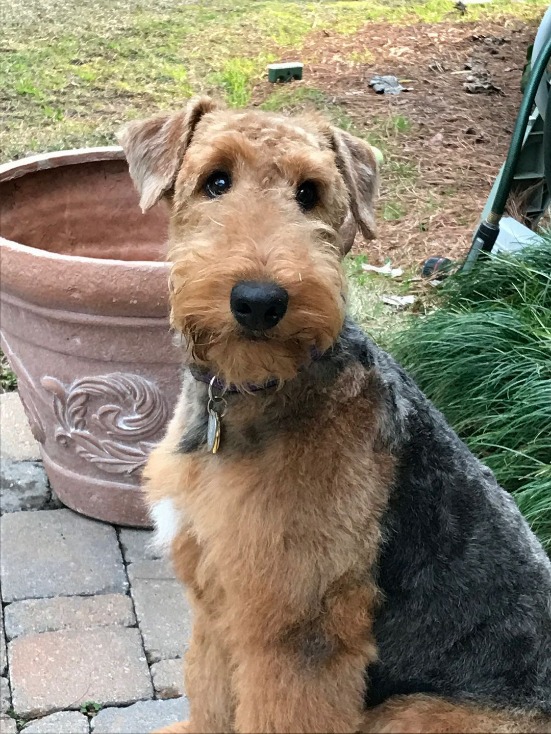 I Love The White Blaze On His Chest Airedale Terrier Airedale Terrier Puppies Airedale Dogs