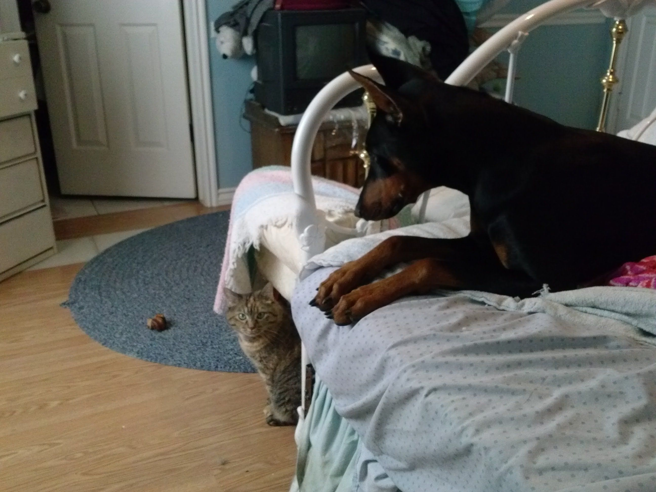 Doberman Vs Cat Scavengers The Animal Rescue Site Blog Doberman Kittens Funny Best Friends Pets