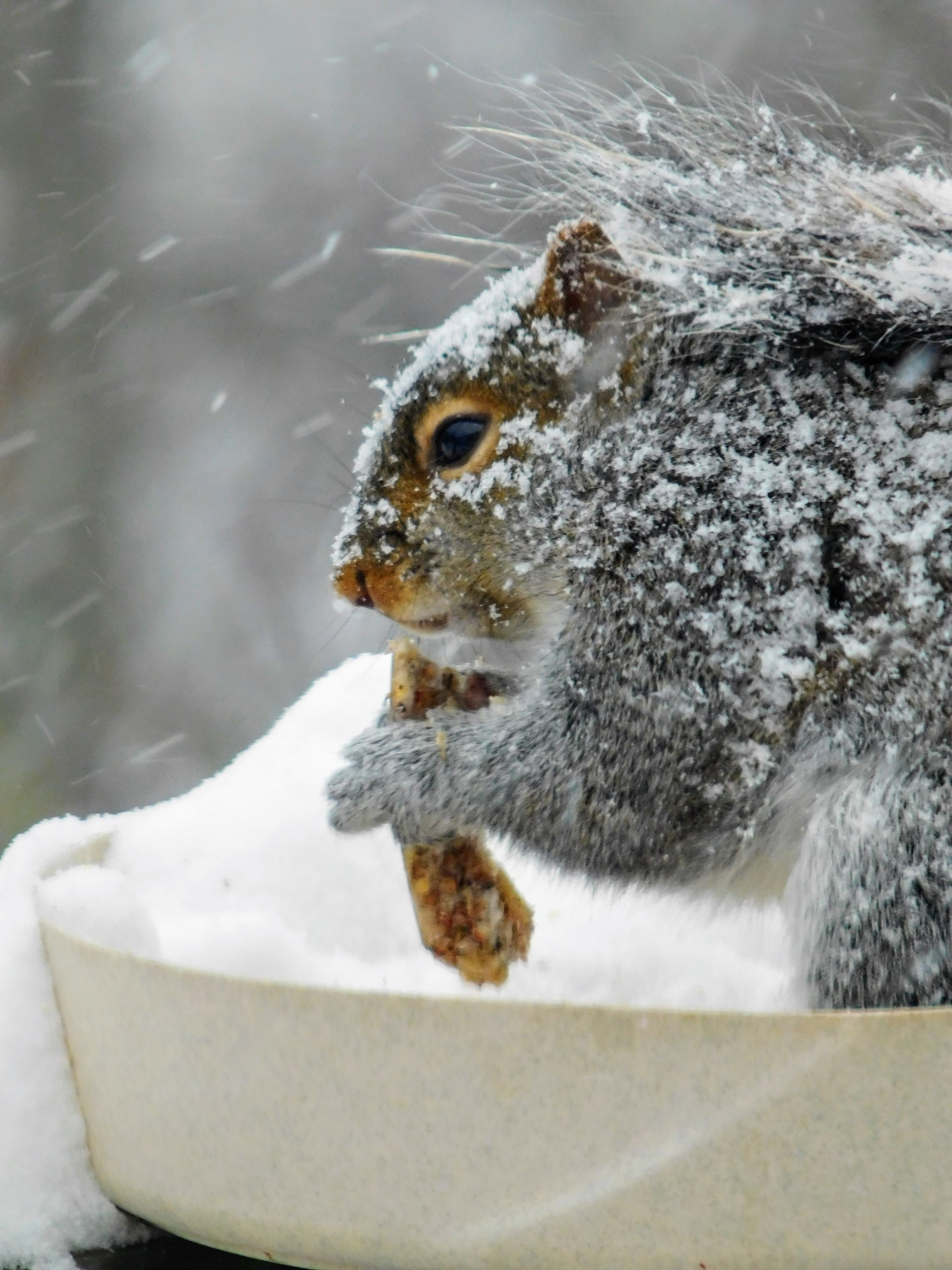 Squirrel enjoying a frozen chunk of seeds. January snow