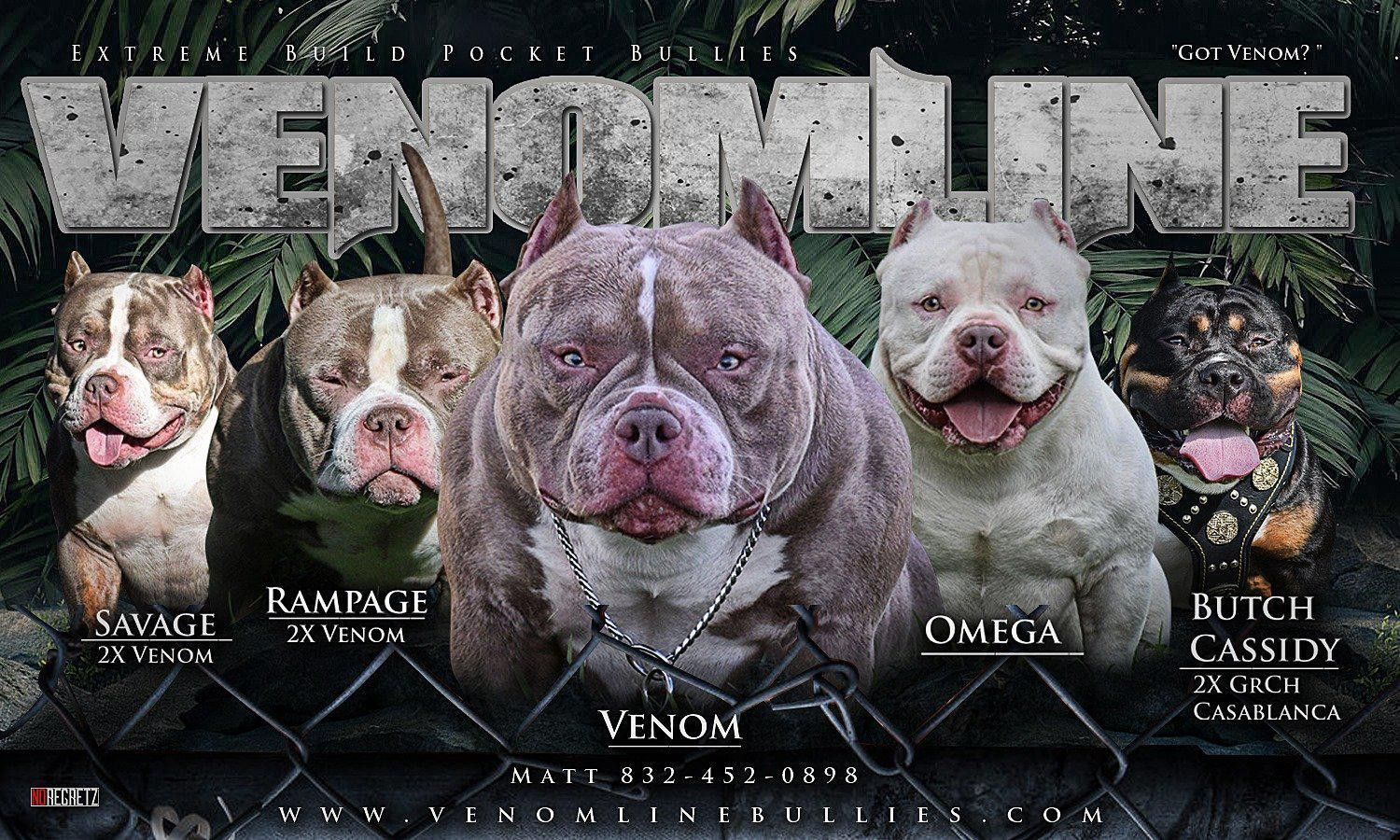 The Top Extreme Build American Bully Studs Pocket Bully