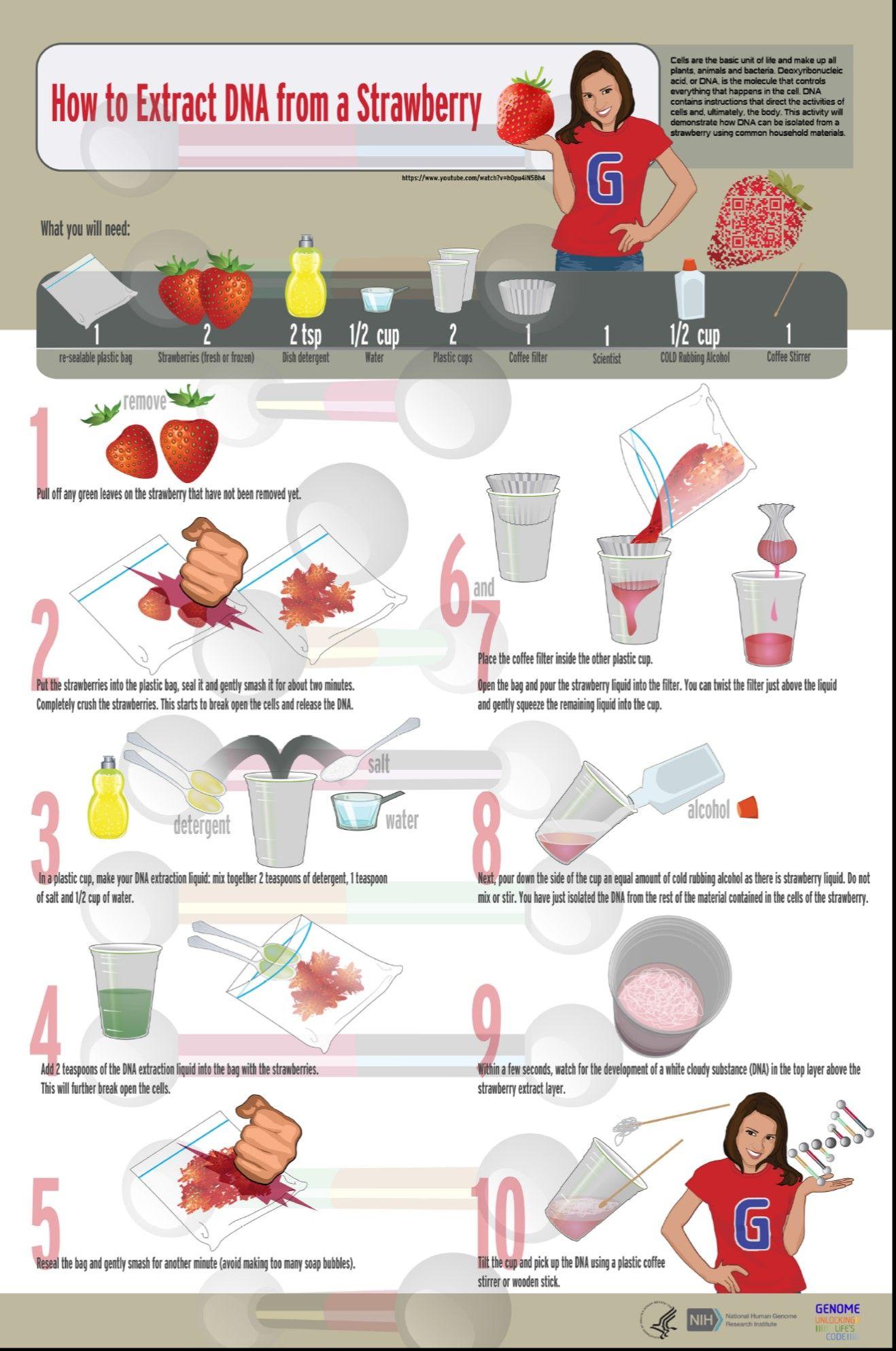 DNA extraction from strawberries | Dna activities, Dna ...