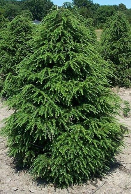 Canadian Hemlock Trees Evergreens For Fast Growing More