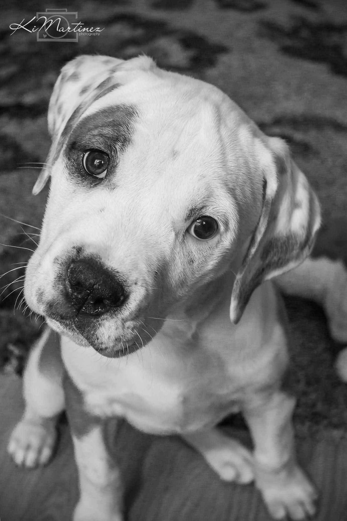 Leia 10 Weeks American Bulldog Bull Mastiff Mix