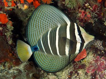 Pacific Sailfin Tang Zebrasoma Veliferum Wakatobi Indonesia Tropical Fish Saltwater Aquarium Fish Tropical