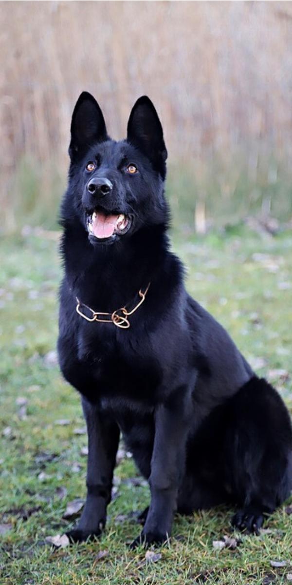 Pin On German Shepherd