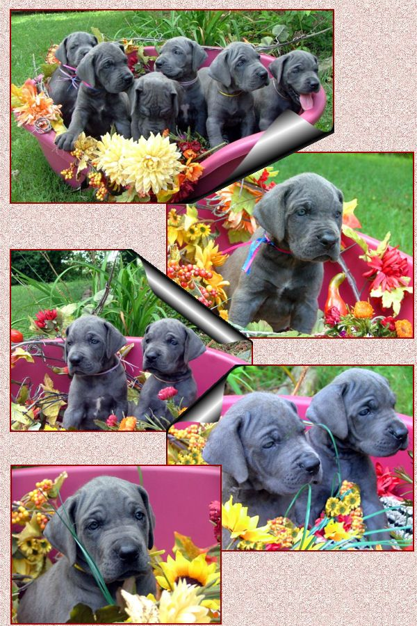 Precious Blue Great Dane Puppies Want One When All My Children
