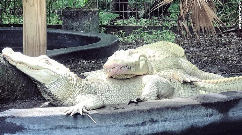 19 Albino Alligator Eggs May Hatch This Summer At An Animal Park In Florida Albino Animals Animals Albino