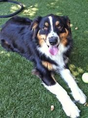 Adopt Lilly On Bernese Mountain Dog Mix Bernese Mountain Dog Mountain Dogs