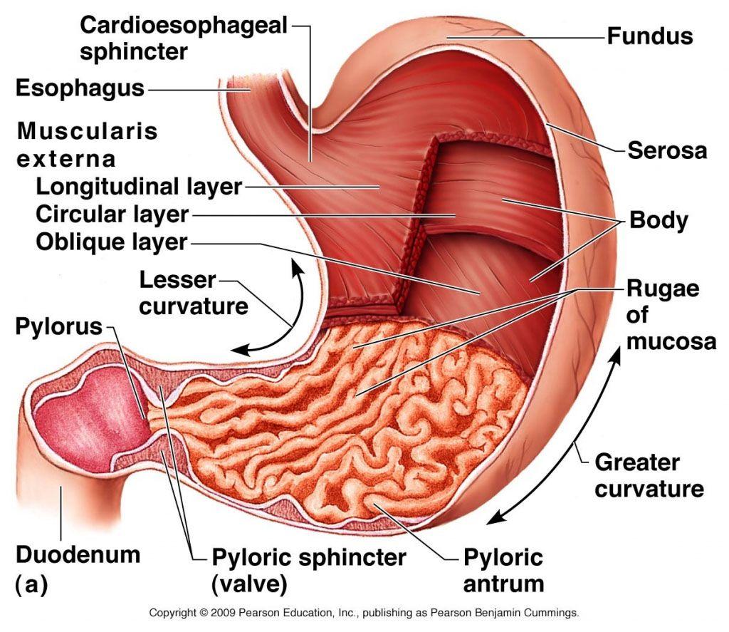 Stomach Wall Anatomy In Detail Www Anatomynote Com Digestive