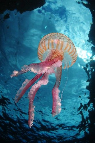 EUO © OCEANA Carlos Minguell 39648 | Jellyfish (Pelagia noct… | Flickr