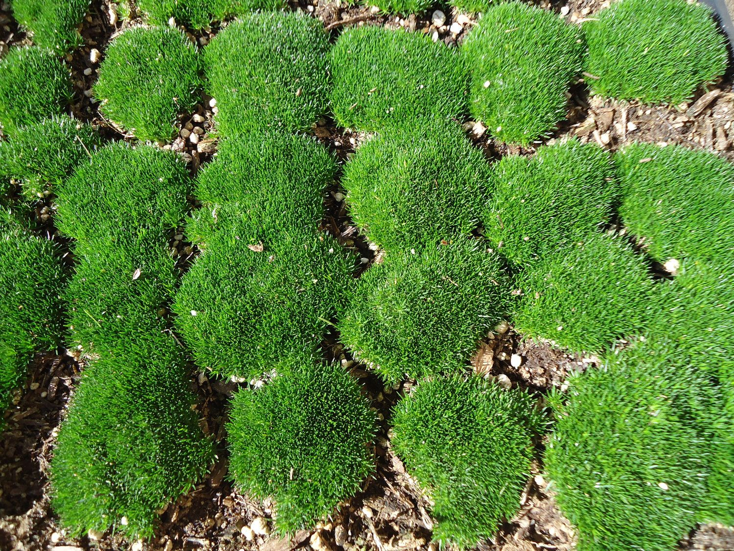 Live Irish Moss Great for Terrariums and Orbs. by CTSairplants on ...