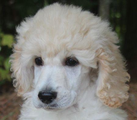 081 Jojo S Cream No Polish Male Poodle Puppies For Sale