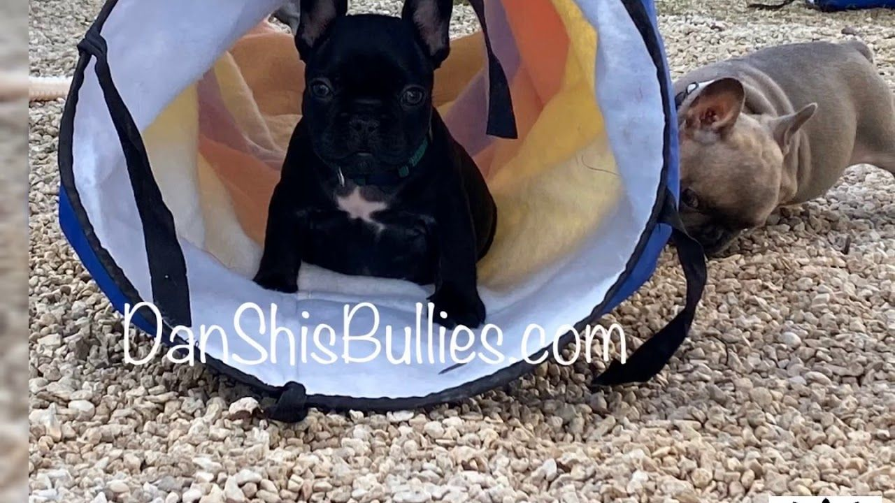 Jax The French Bulldog Puppy Is Available For His Forever Home Youtube Bulldog Puppies French Bulldog Puppy Puppies