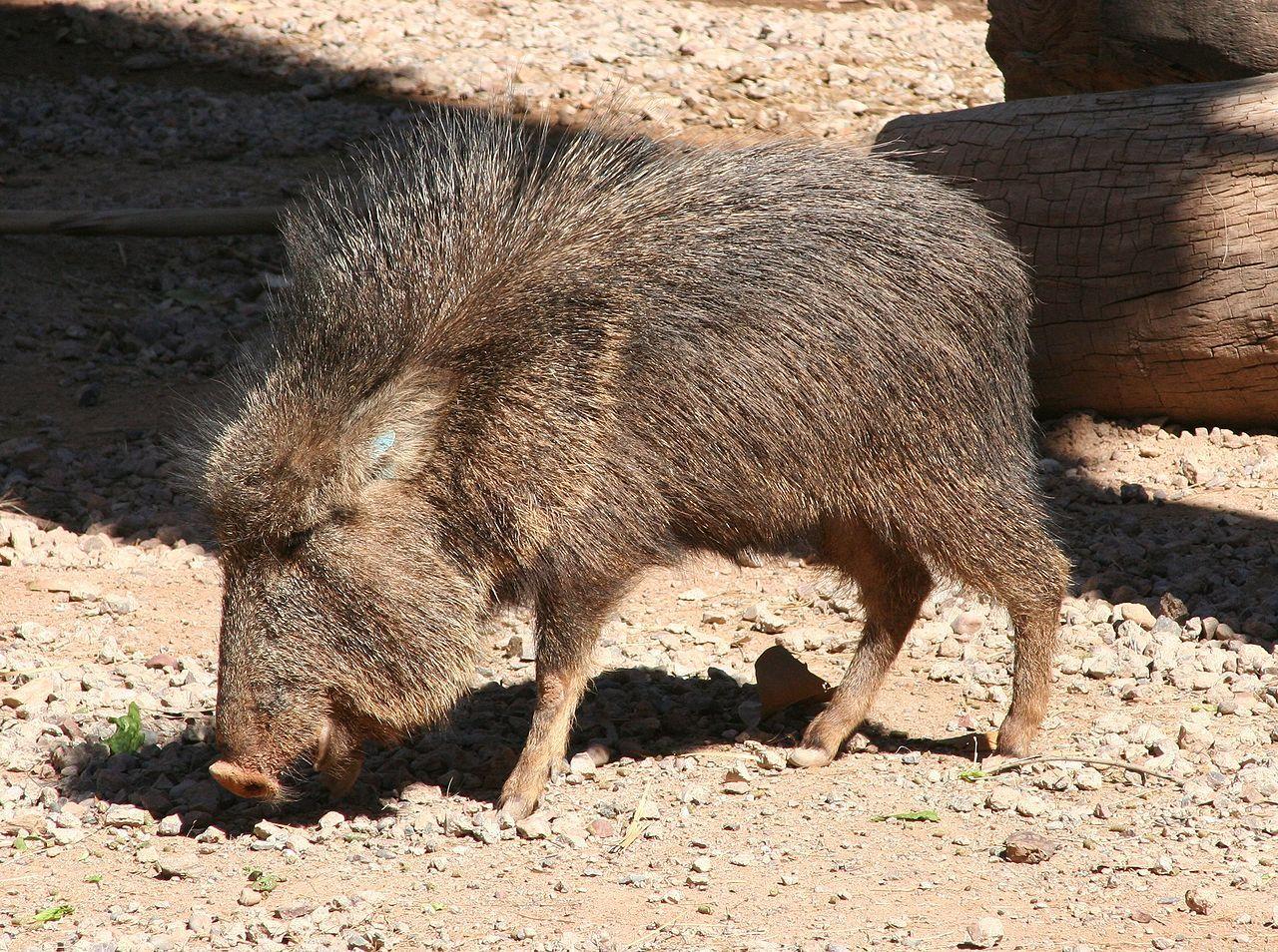 El pecarí quimilero, taguá, pecarí del Chaco, jabalí, solitario, u orejudo (Catagonus wagneri o Parachoerus wagneri) es una especie de mamífero artiodáctilo de la familia Tayassuidae, la de mayores dimensiones dentro de la familia.
