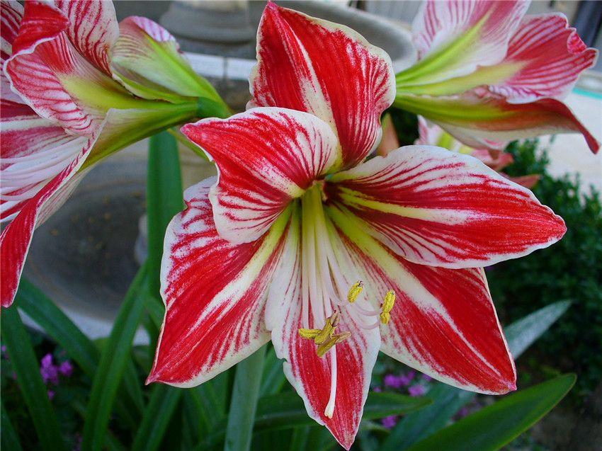 February Flowers That In Season Amaryllis Plant Amaryllis Flowers Amaryllis Bulbs