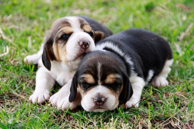 Beagle Puppies For Sale In Hyderabad Zoe Fans Blog Beagle