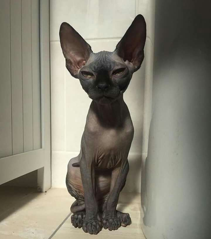 The Skin Of The Russian Donskoy Cat Is Soft And Warm However That Does Not Mean They Do Need Protection From Too Much Sunlight Expo Cats Sphynx Cat Spinx Cat