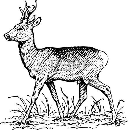 Chevreuil dessin cerf illustration projet illustration - Comment dessiner un cerf ...