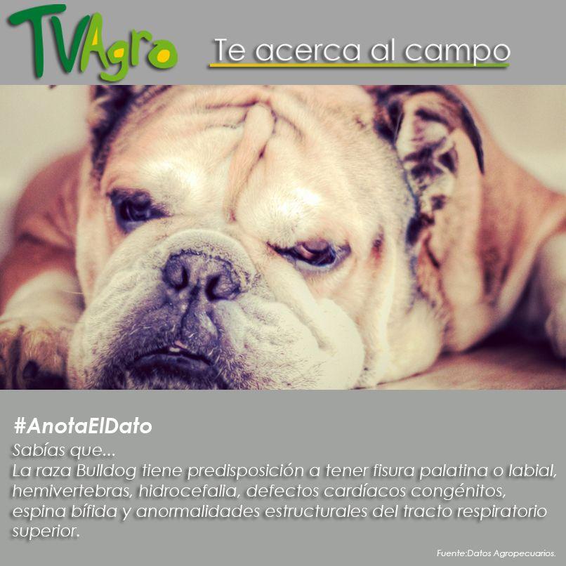 #AnotaElDato Información genética de la raza Bulldog.