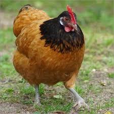 Bildergebnis für Hühner