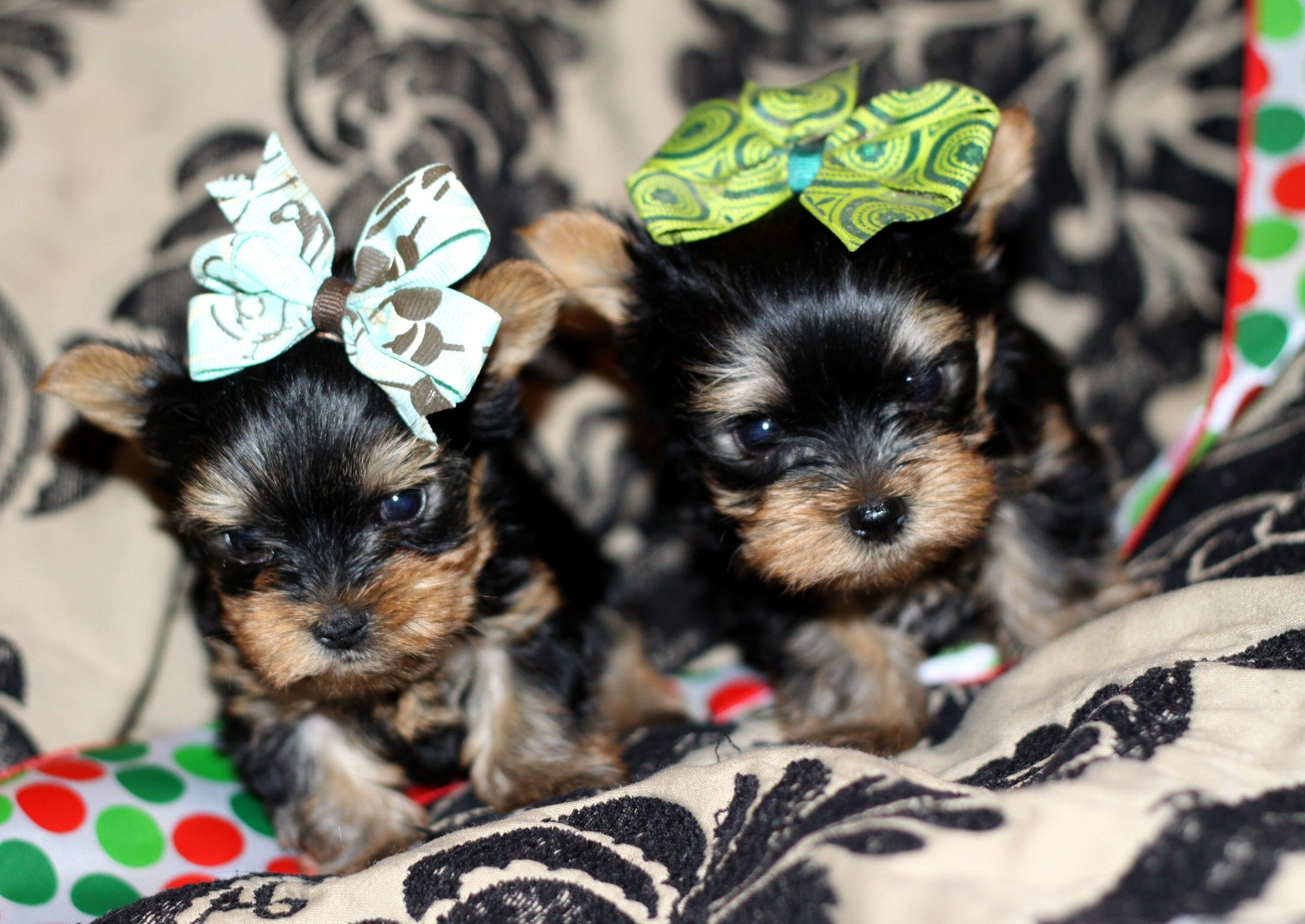 Wild West Yorkies Txyorkie Com Yorkie Puppies For Sale In Texas Past Puppies Black And Gold Yorkies Parti Yorkie Yorkie Puppy For Sale Yorkie Puppy Yorkie