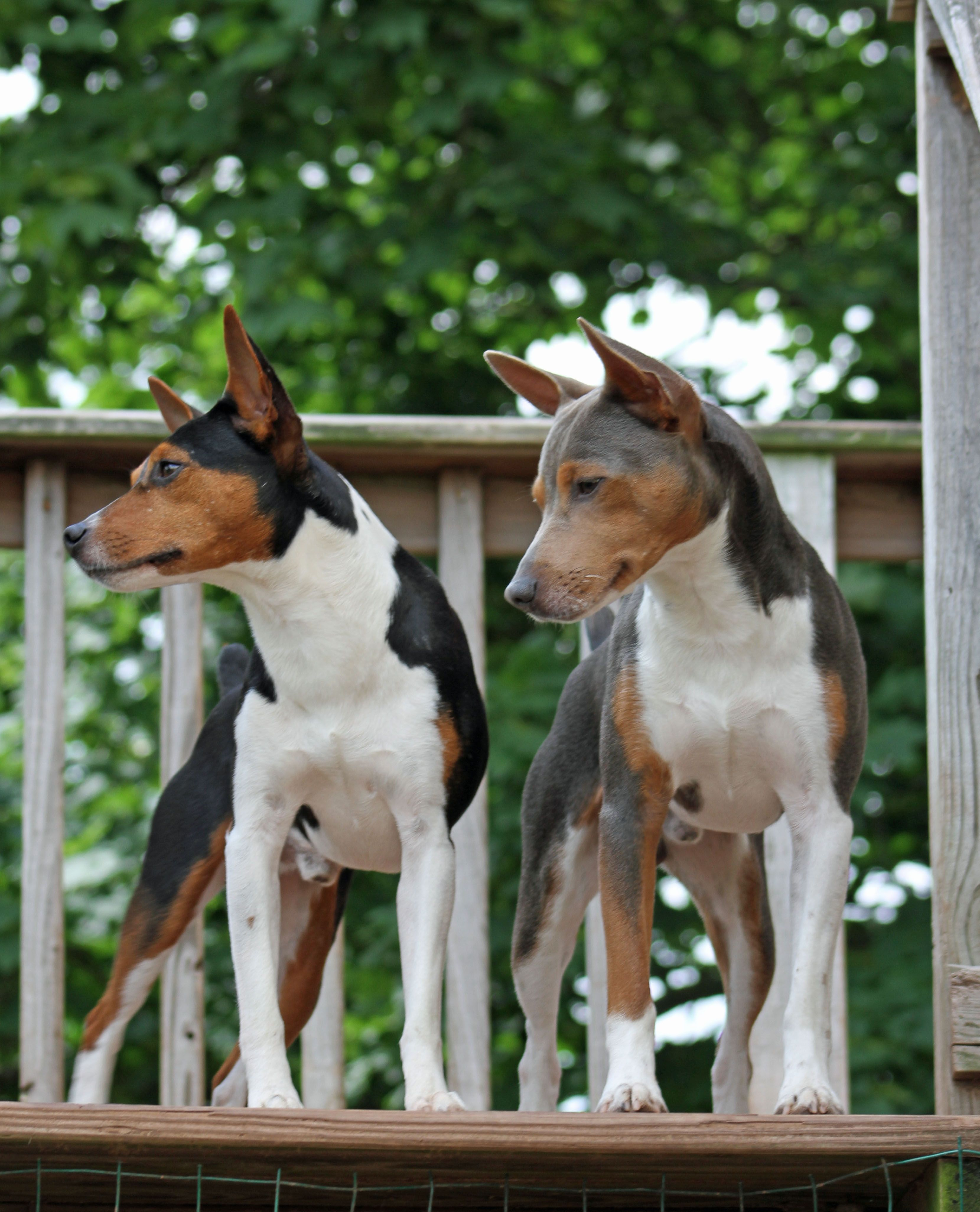 Black And Blue Irish Marked Boys Rat Terrier Dogs Hound