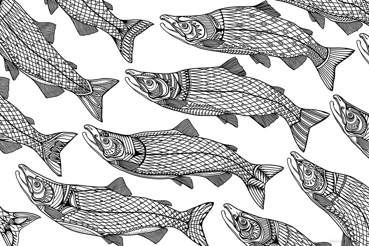 Sockeye Salmon Line Drawing West Coast Wildlife Illustrations On