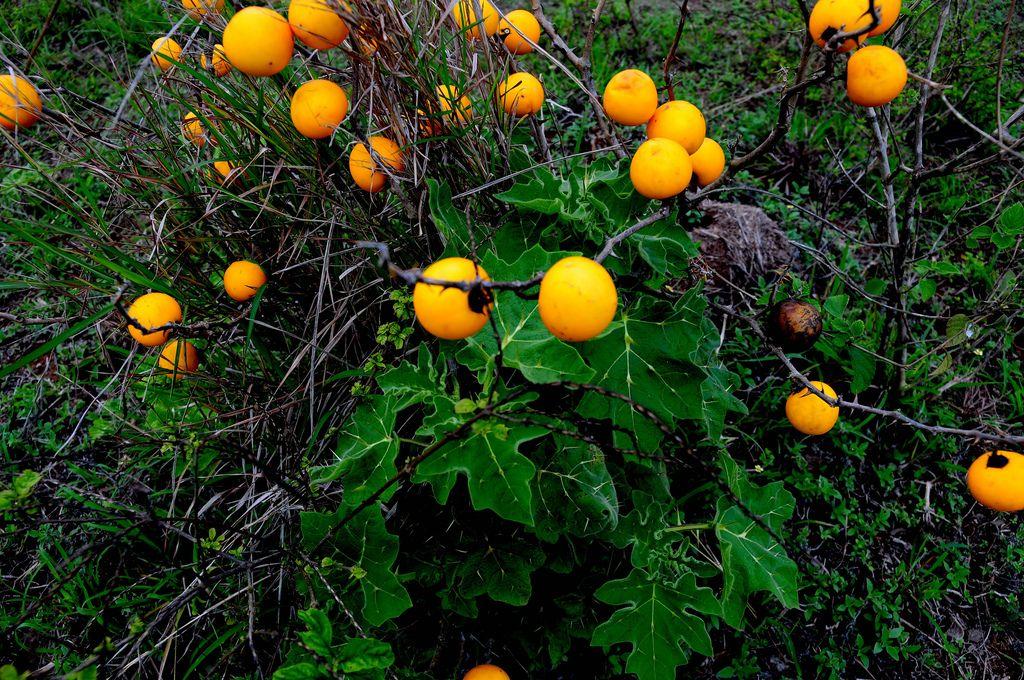 https://flic.kr/p/9D9smN   Plantas de Venezuela: Manzana del diablo   Solanum mammosum L., Sp. Pl SOLONÁCEA  Fruto muy venenoso.