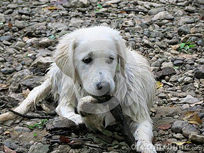 Wet White English Cream Golden Retriever Puppy 12 Weeks Old