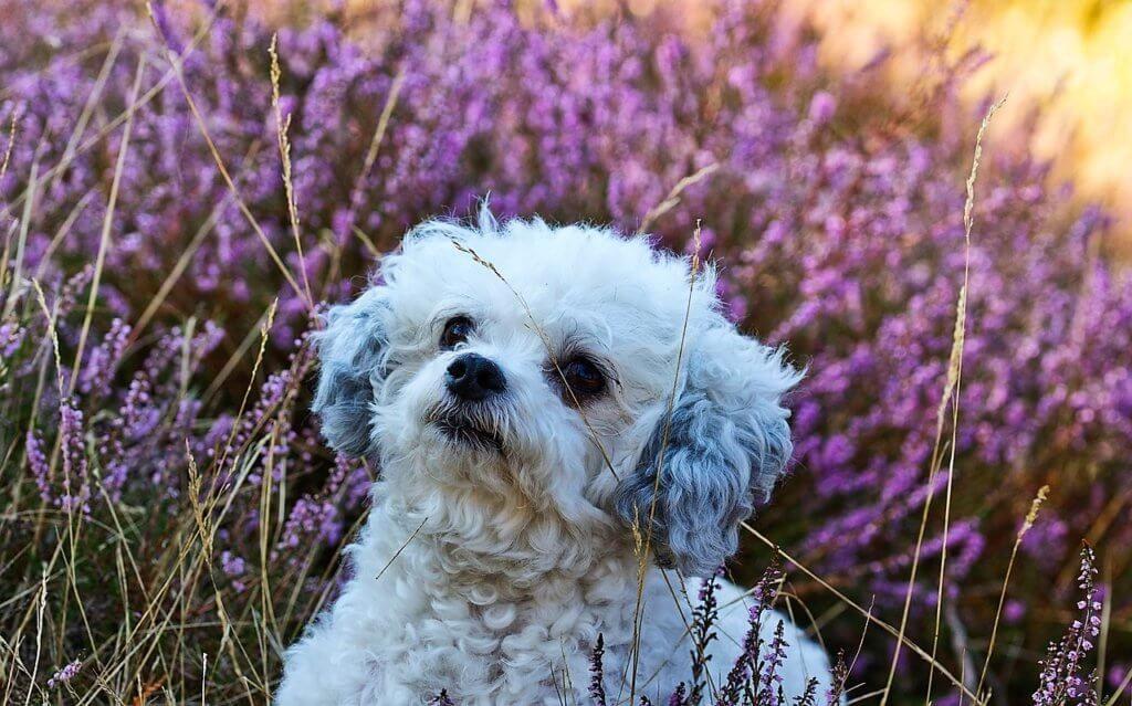 Bolonka Zwetna Welpen Charakter Eigenschaften Kaufberatung Zucht Uvm In 2020 Bolonka Zwetna Bolonka Hunde Und Kinder